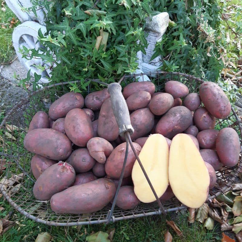 """Kartoffelsorte """"laura"""" von Eierhof Welle"""
